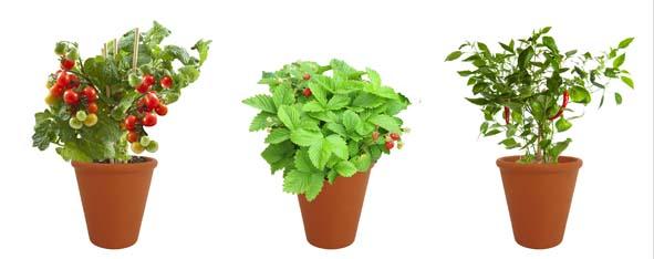 Le trio de « Pots Saveurs du Potager » (tomates cerise, fraisier des 4 saisons, piment doux, poivron long des Landes) saura mettre un rayon de soleil dans toutes les compositions culinaires.